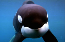 <i>Sea World</i> pierde batalla legal sobre orcas; enfrenta limitantes